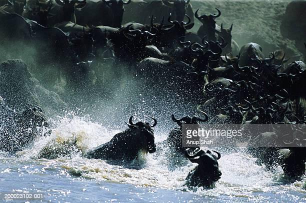 Wildebeest herd (Connochaetes taurinus) crossing Mara River