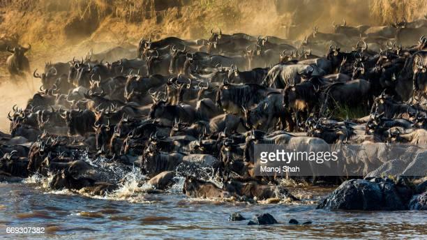 Wildebeest herd crossing Mara River