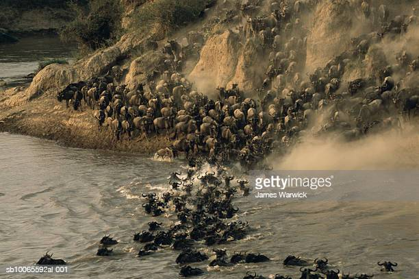 wildebeest (connochaetes taurinus) herd crossing mara river - threatened species stock pictures, royalty-free photos & images