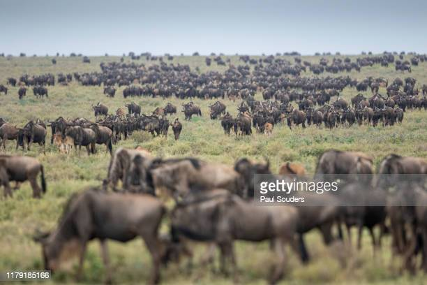 Wildebeest Herd during Serengeti Migration, Ngorongoro Conservation Area, Tanzania