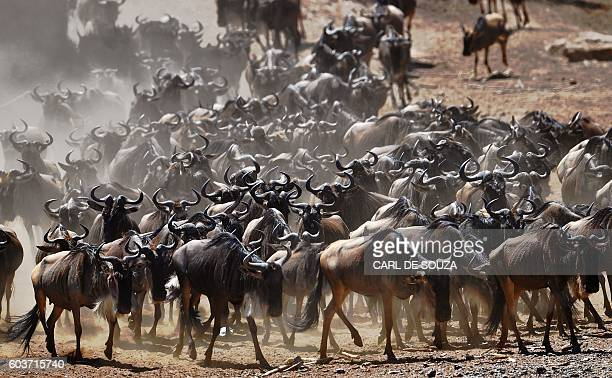TOPSHOT A wildebeest herd is pictured on September 13 2016 during the annual wildebeest migration in the Masai Mara game reserve / AFP / CARL DE SOUZA