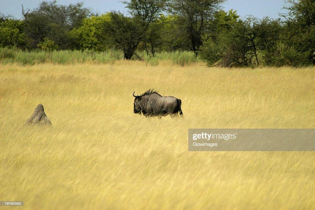 Wildebeest (Connochaetes taurinus) in a field, Okavango Delta, Botswana : Foto de stock