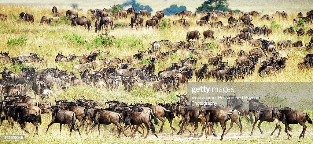 Wildebeest in Line for Migration : Stock Photo