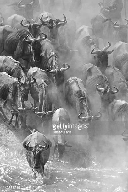 Wildebeest in river