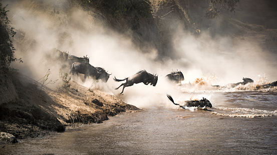 Wildebeest leap of faith into the Mara River 918855102
