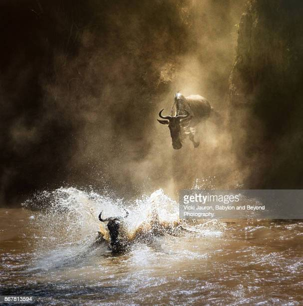 Wildebeest Leaping into the Mara River as Part of the Great Migration