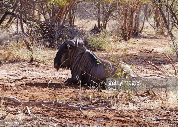 Wildebeest lying down in the Madikwe Game Reserve in South Africa