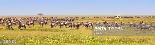 Wildebeest Migration by African Safari Truck