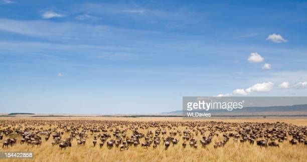 wildebeest migration - animal migration stock pictures, royalty-free photos & images
