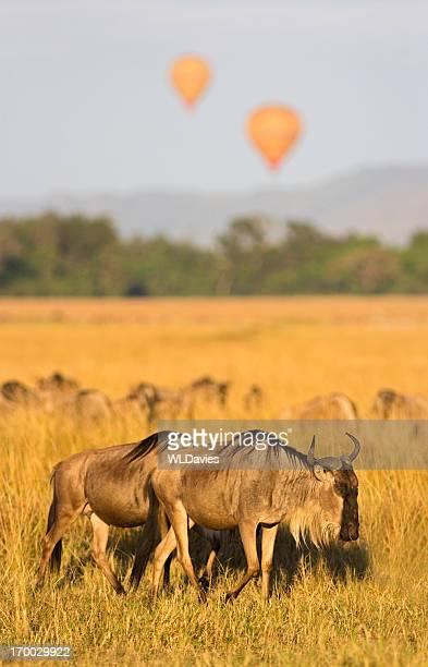 Gnou migration
