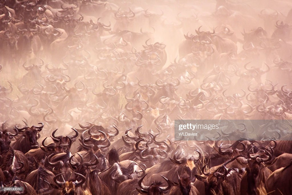 Wildebeest migration : Stock Photo