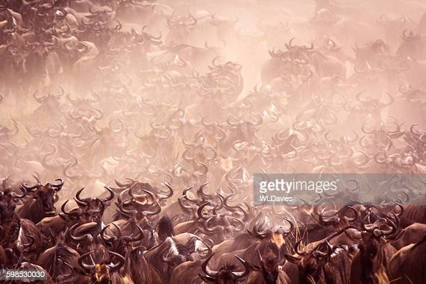 wildebeest migration - herd stock pictures, royalty-free photos & images