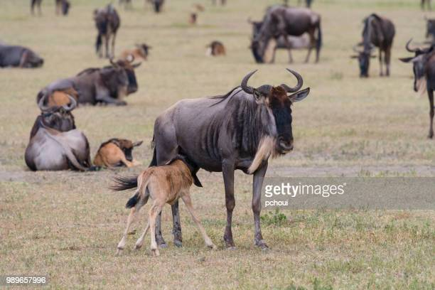 Wildebeest, mother feeding baby, Africa