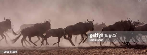 wildebeest on the run in masai mara. - mandria foto e immagini stock