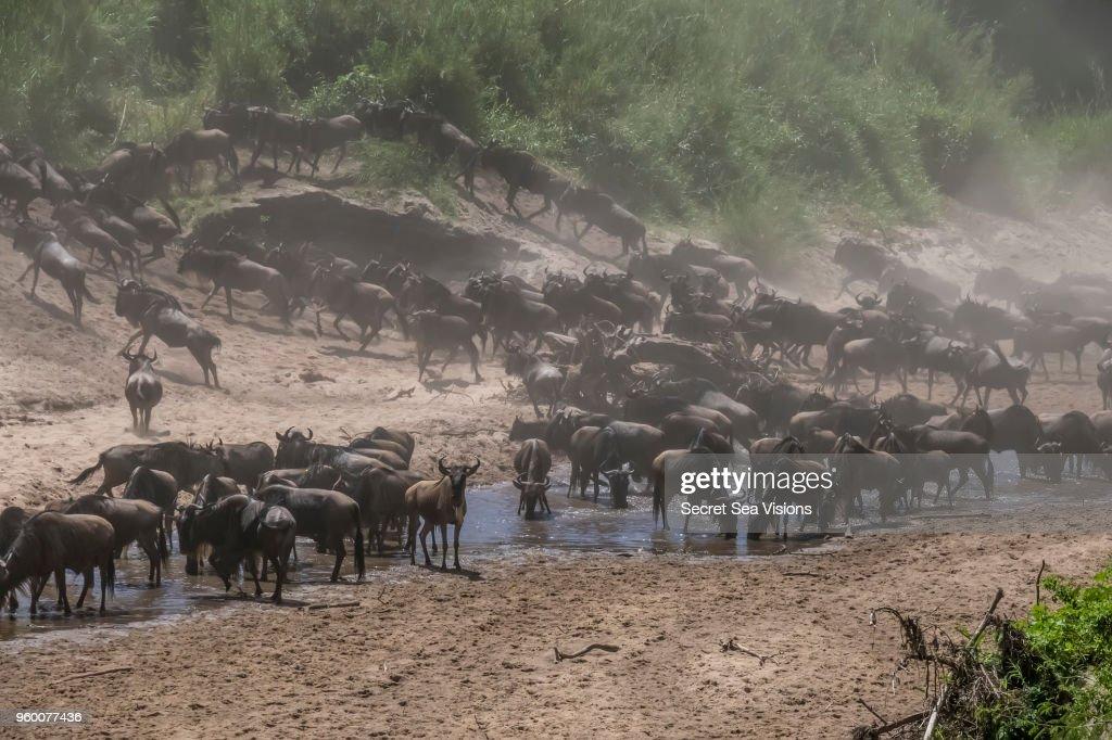Wildebeest or Blue/Brindled Ngu crossing Grameti River : Stock-Foto