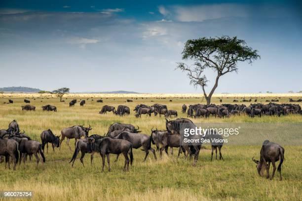 wildebeest or blue/brindled ngu - säugetier stock-fotos und bilder