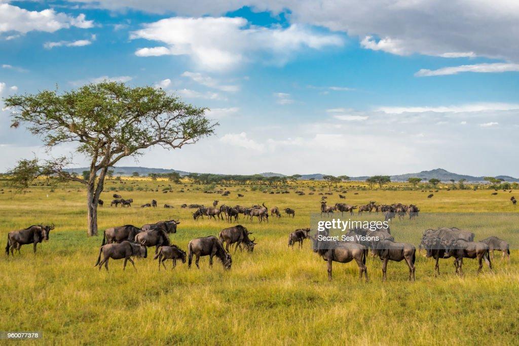 Wildebeest or Blue/Brindled Ngu : Stock-Foto