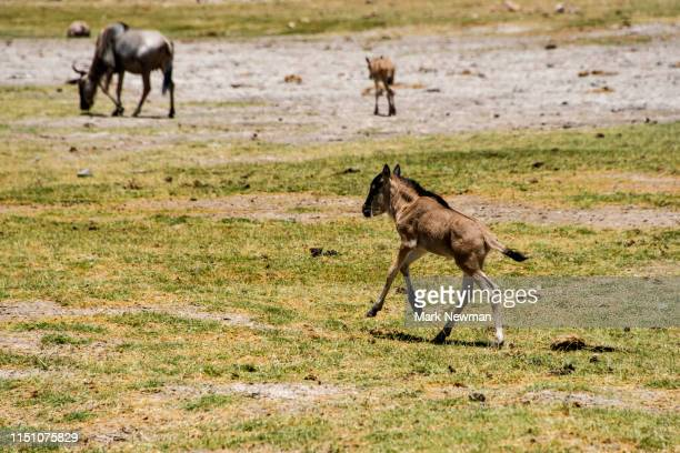 wildebeest - kenya newman stock pictures, royalty-free photos & images