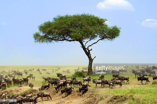 wildebeest - national wildlife reserve stock pictures, royalty-free photos & images