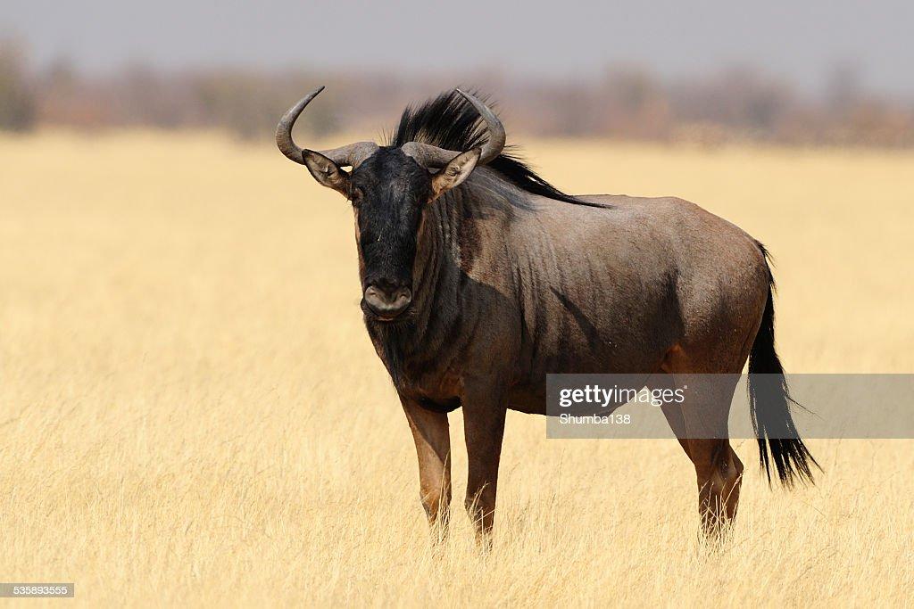 Wildebeest : Bildbanksbilder