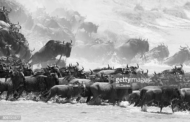 wildebeest river crossing - stampeding stock pictures, royalty-free photos & images