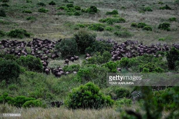 Wildebeest run through a scrub at the Masai Mara National Reserve as they arrive into Kenya from Tanzania during the start of the spectacular annual...