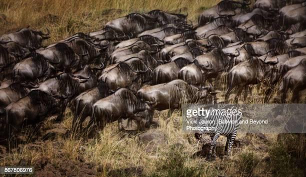 Wildebeest Running and Zebra in Masai Mara, Kenya