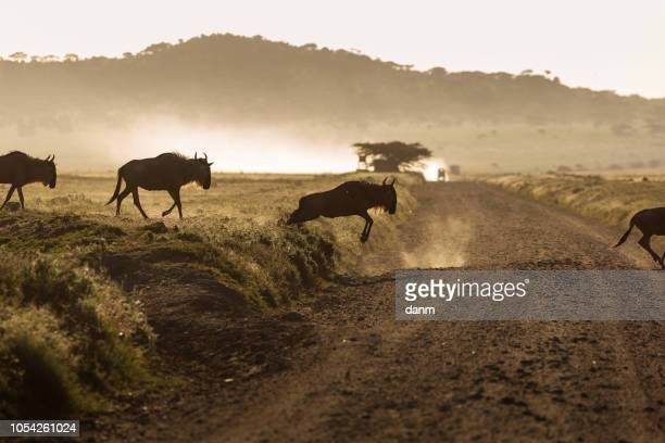 wildebeest (gnu antelope) running over a road in serengeti national park, africa. - stampeding stock pictures, royalty-free photos & images
