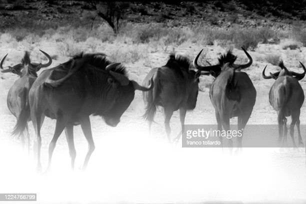 wildebeest running - zambezi river stock pictures, royalty-free photos & images