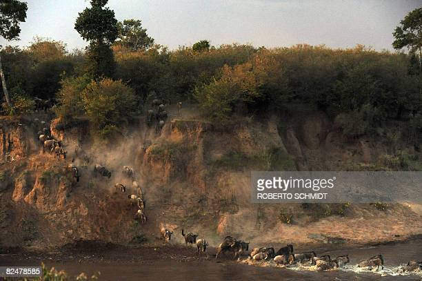 Wildebeest rush the waters of the Mara river during the annual wildebeest migration through the Massai Mara National park in western Kenya on August...