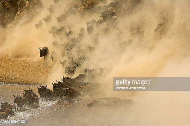 wildebeest  (conochaetes taurinus) stampede, elevated view - stampeding stock pictures, royalty-free photos & images