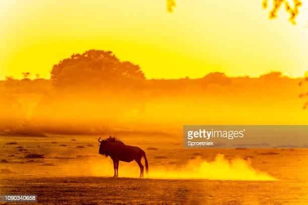 wildebeest standing in dusty kalahari dawn - botswana stock pictures, royalty-free photos & images