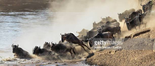 Wildebeest Wading Into Water