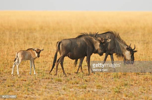 Wildebeest with calf (Connochaetes) in the grassy savannah, Liuwa Plain National Park, Zambia