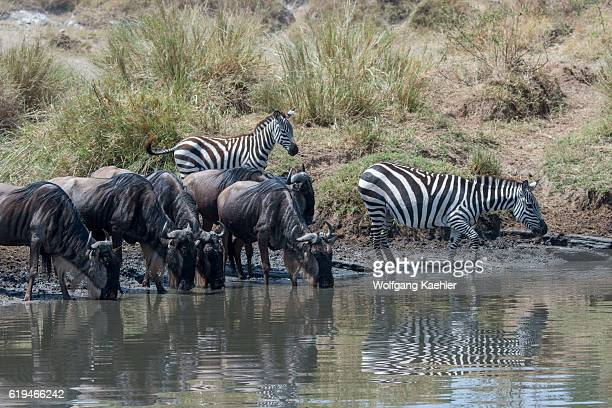 Wildebeests also called gnus or wildebai and Plains zebras also known as the common zebra or Burchell's zebra drinking water while waiting to cross...