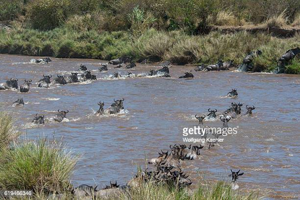 Wildebeests also called gnus or wildebai crossing the Mara River in the Masai Mara National Reserve in Kenya during their annual migration