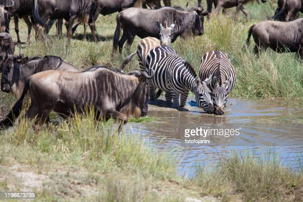 wildebeests and zebras  in a puddle of water  in serengeti - fotofojanini foto e immagini stock