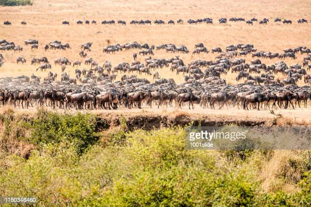 wildebeests at great migration at savannah in the bushes - animal migration stock pictures, royalty-free photos & images