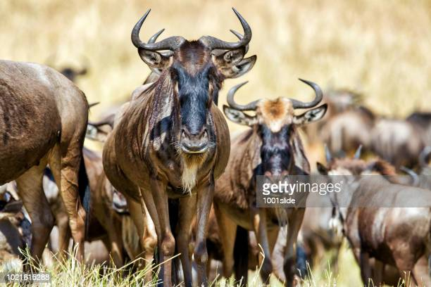 Wildebeests at Great Migration