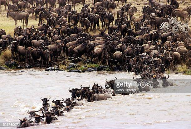 wildebeests crossing mara river - wild cattle stock photos and pictures