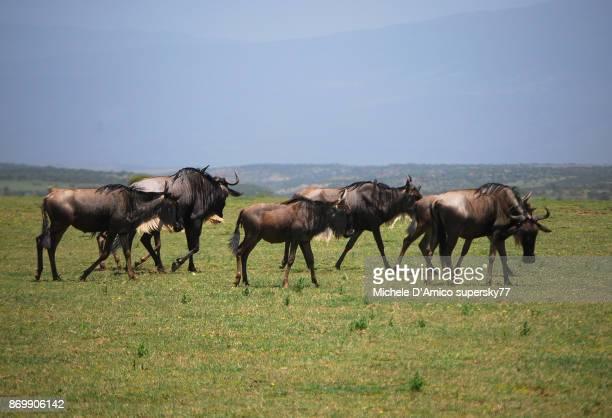 Wildebeests grazing in the Serengeti savannah