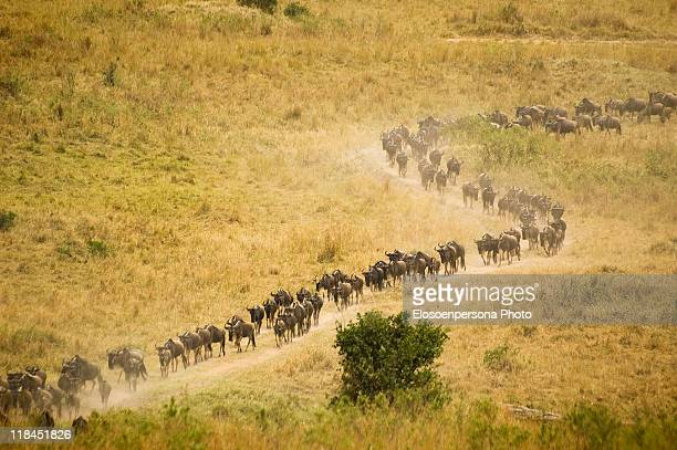 wildebeests migration - animal migration stock pictures, royalty-free photos & images