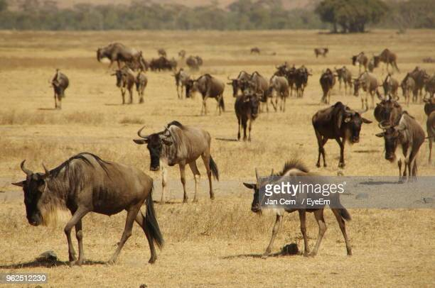 wildebeests on landscape - ngorongoro conservation area stock pictures, royalty-free photos & images