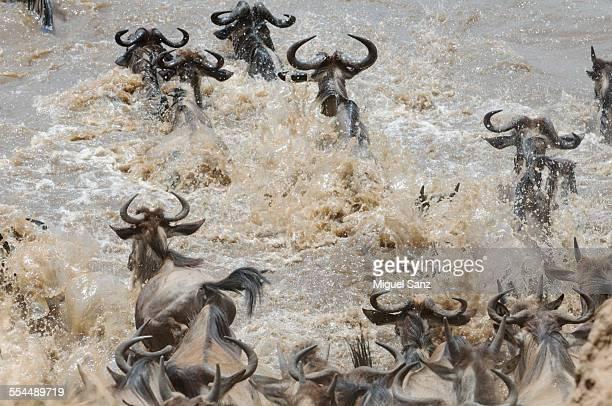 Wildebeests, rear view, crossing Mara river, Kenya