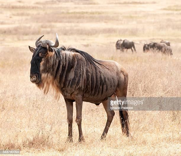 Wilderbeest Connochaetes in Ngorongoro crater