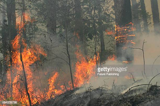A wildfire in a pine forest in Simalungun on August 22 2016 in North Sumatra Indonesia During annual dry season hundreds of fires are often illegally...
