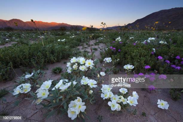 wildflower blooming at sunrise, anza borrego desert state park, ca - anza borrego desert state park stock pictures, royalty-free photos & images