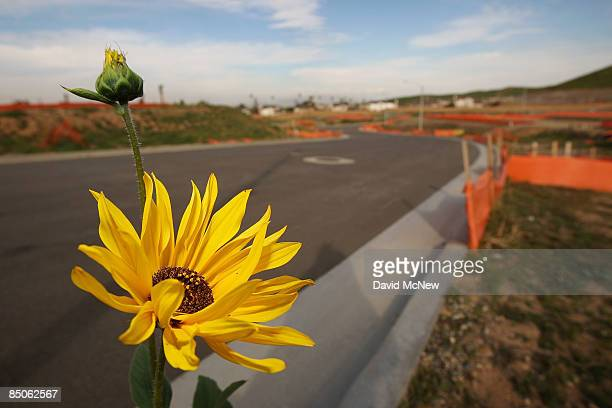A wildflower blooms at an idle home construction site where construction has been halted on February 24 2009 near Riverside California US single...