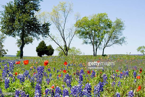 wildflower field - texas bluebonnet stock pictures, royalty-free photos & images