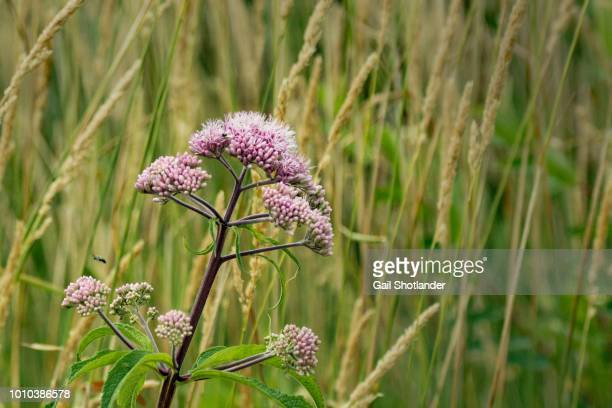 Wildflower in Marsh Grasses
